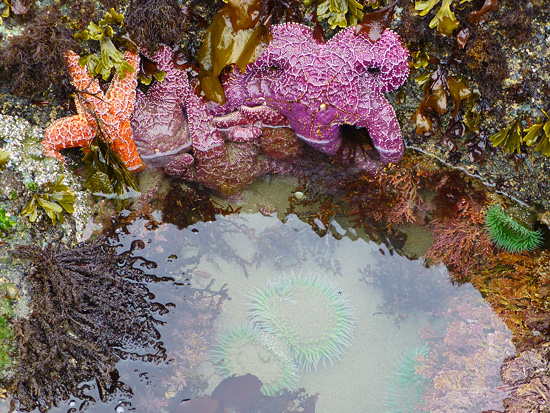 Sea Stars in tide pools on Sunset Beach